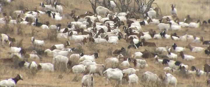 ratusan kambing